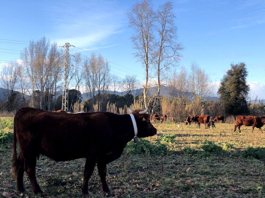 Vacas en el camino a Bescanó